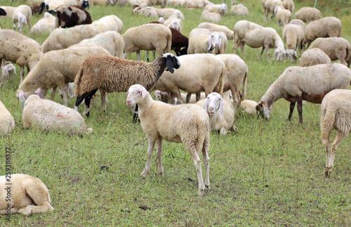 fototapeta na ścianę flock with white sheep and lambs grazing
