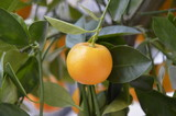 Mandarino illuminato