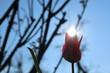 Tulpe im Gegenlicht vom Sonnenschein - 259393907