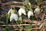 Common snowdrop or Galanthus nivalis (cultivar Flore Pleno) with white flowers on flowerbed