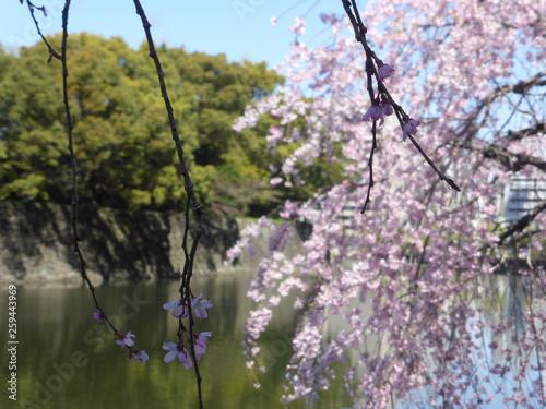 皇居に彩りをそえる桜たち