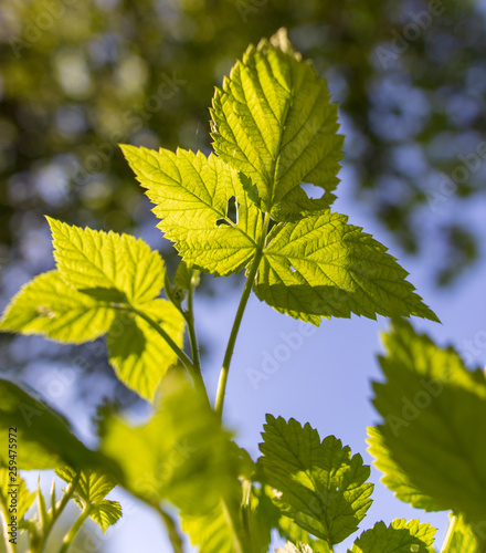 canvas print picture Leaves on raspberry branches in spring