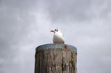 Möwe auf einem Holzstamm an der Nordsee