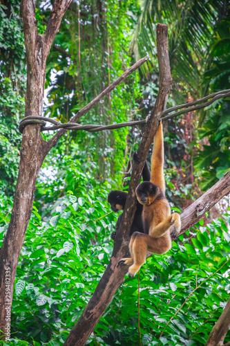 Yellow-cheeked gibbons dangling in Singapore zoo