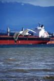 カモメ Seagull Gull