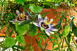 A photo of a blooming passion flower on a potted passiflora plant with many green leaves, an indoors vine