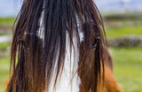 Close up portrait on Hairy Piedbald Cob Horse in rural Ireland