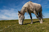Horse grazing in a rural Irish meadow on the west coast of Ireland