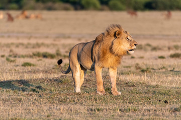 Male Lion roaring loud at sunrise in Maasai Mara