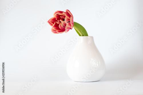 canvas print picture Tulpe (einzeln)