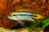 Agassiz's dwarf cichlid Apistogramma Agassizii aquarium fish