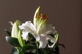 Lilium Flower in Natural light