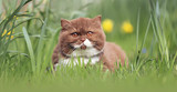 Britisch Kurzhaar Kitten auf grüner Wiese