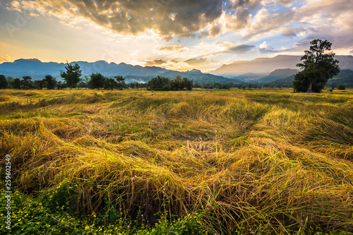 Rice Field View at Petchabun, Thailand