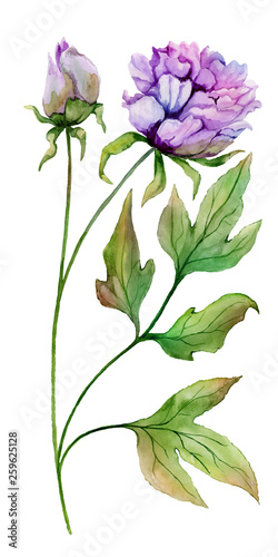 Beautiful Paeonia suffruticosa (Chinese peony) flower on a stem with green leaves. Full bloom flower isolated on white background. Watercolor painting © katiko2016