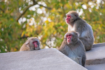 Japanese macaque monkeys sitting on stone fence