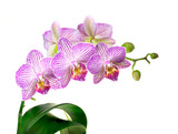 Focus Stacked Image of a Purple and White Orchid Plant Isolated on White