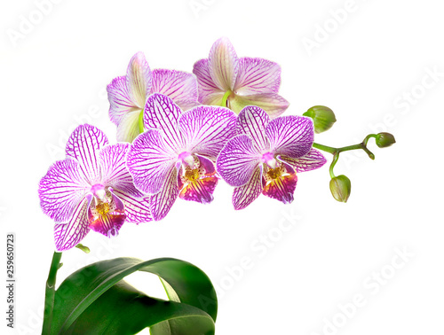 Focus Stacked Image of a Purple and White Orchid Plant Isolated on White - 259650723