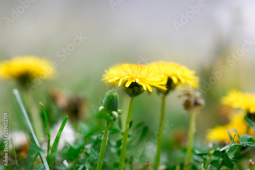 yellow dandelion flowers blossom in spring - 259652714