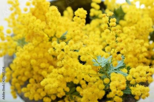 室内のミモザの花、クローズアップ