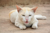 Brown and white Cat Image