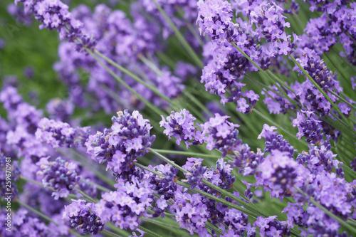 Lavender field, Hokkaido, Japan - 259670961