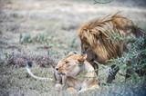Löwe und Löwin kuscheln