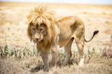 Löwe im Serengeti Nationalpark
