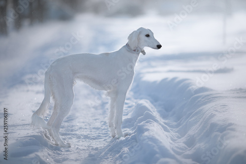 Snow dog © Natalya