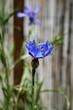 canvas print picture - Gros plan Fleur de Bleuet