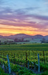 Quadro Vineyards at sunset in California, USA