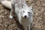 Little white Arctic Fox White arctic Fox