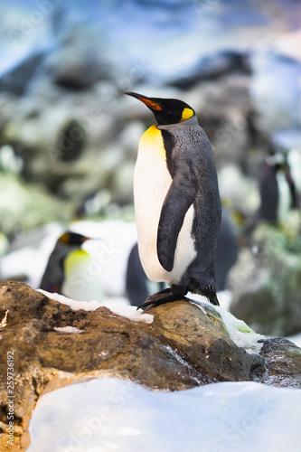 Fototapeten Pinguine emperor penguin in animal park