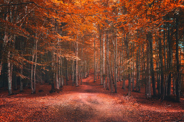 beautiful beech forest in autumn