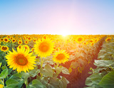 Field with rows of sunflowers at sunset.
