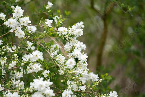 blooming apple tree - 259763910