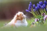 BKH Kitten riecht den Frühling