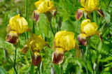 Yellow bearded irises (lat. Iris barbatus) bloom in the garden