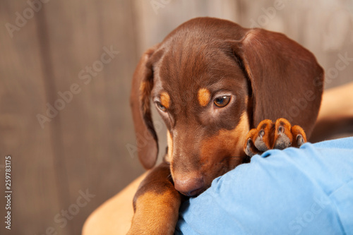 fototapeta na ścianę dog puppy breed dachshund on shoulder of a boy, a teenager and his pet.