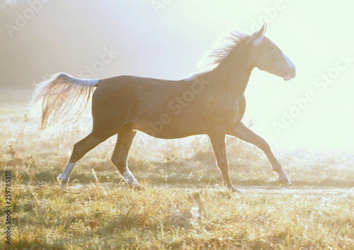The  silvery-black colt galloping on a morning meadow against the background of fog © goldika