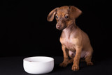 Dwarf dachshund puppy on a black background
