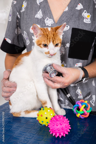 fototapeta na ścianę brown and white cat in veterinary consultation