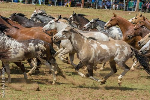 caballos en grupo trotando © Fabian