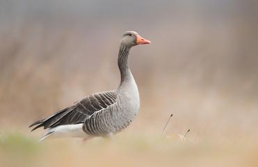 Greylag goose (Anser anser) © kwasny221