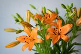 orange lilies on white background
