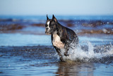 german boxer dog running on water