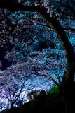 Fototapeta Fototapety na ścianę - 夜桜に包まれて © shinetsu_guide