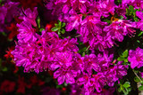 View of beautiful full bloom colorful Indian Azaleas ( Rhododendron simsii ) flowers lighted up at night