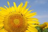 Sunflower , Summer , Bee
