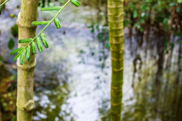 Evergreen bamboo branch with leaves against the backdrop of trees and water. © koldunova